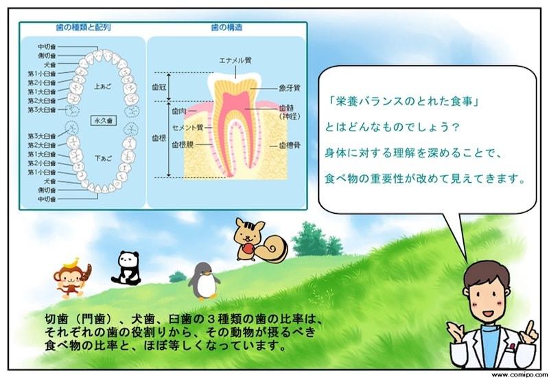 歯の種類と食事のバランス