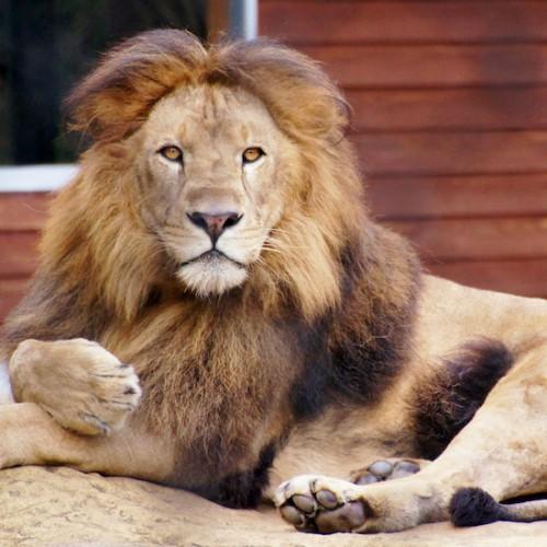 威厳・ライオン