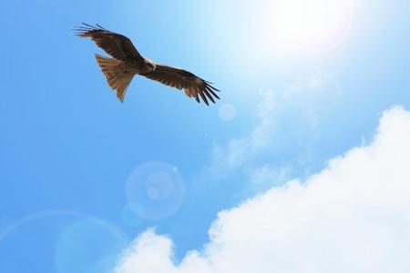 獲物を探す鷹