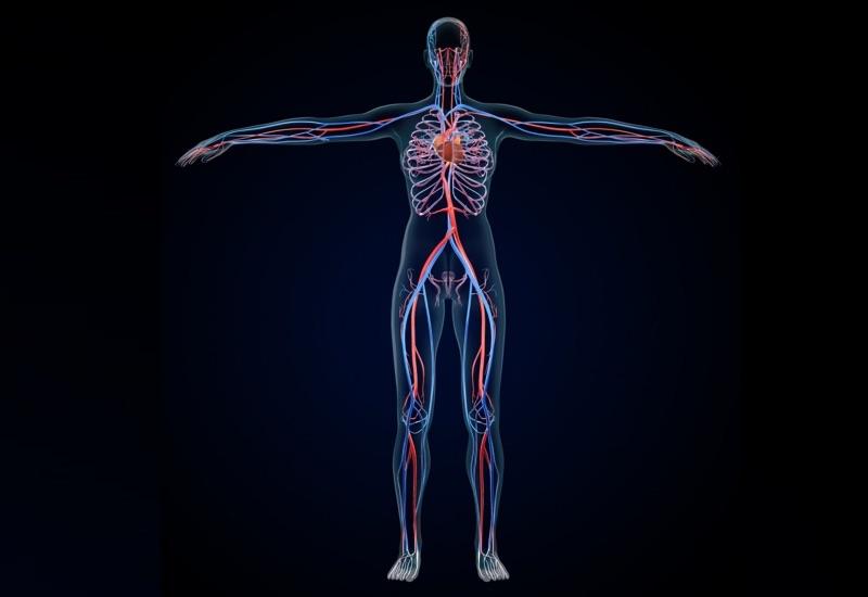 動脈と静脈